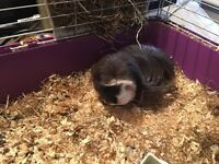 Guinea pig with cage for sale