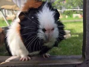 15 Guinea Pigs To Good Homes Kalamunda Kalamunda Area Preview
