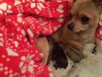 Beautiful Chihuahua Babies for sale in Sheffield. 3 stunning long haired boys. £600