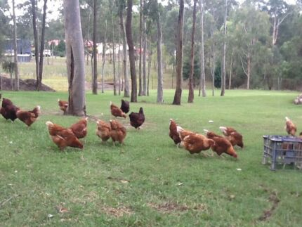 Isa Browns 20wks pol chickens