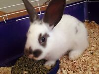 Two bunnies need gone ASAP