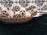 KC reg Longcoat Chihuahua Boys