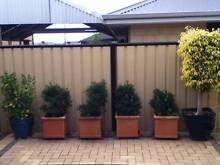Ficus Tree and other pot plants for sale Carramar Wanneroo Area Preview