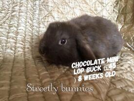 Mini lop buck chocolate
