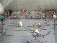 Gouldians Finches St Clair Penrith Area Preview