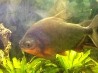 Fish tank set up 4 foot large Pacu fish