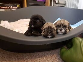 Half imperial shih-tzu pups for sale (all reserved)