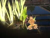 Frogs for pond
