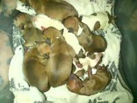 Full breed staffy pup - 1 female pup left