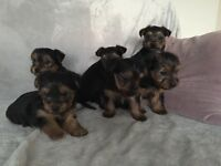 Miniature Yorkshire Terrier Puppies For Sale