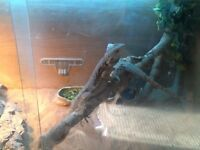 2x bearded dragons with tank and everything