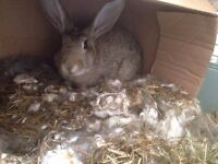 Rex Baby Rabbits available for adoption! Mum and Dad can be seen, Babies ready to go in 8 weeks,!