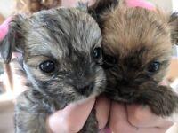 shipoochi puppies for sale
