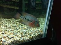 FEMALE FLOWERHORN CICHLID FOR A TROPICAL FISH TANK FOR SALE