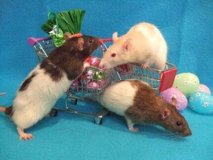 Wanted: WANTED: Rats (female and/or male)