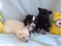 Pedigree long coat chihuahua puppies