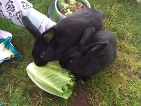 2x rabbits for sale