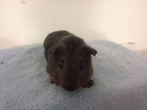 Guinea Pigs for Sale Ulverstone Central Coast Preview