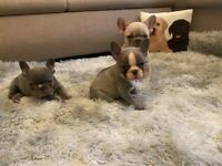 French bulldogs are looking for a new home