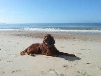 Irish setter in need of a new home