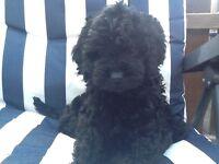 Stunning black F1 Cockapoo puppy