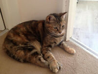 Missing Tortie/Tabby Domestic Shorthair Female Cat from Acomb, York