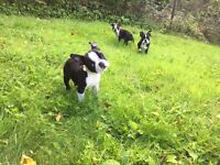 Ready to go now! - Boston Terrier Puppies - 3 Remaining!