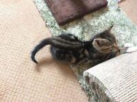Bengal X Kitten (male)