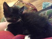 Fluffy black and white female kitten for sale