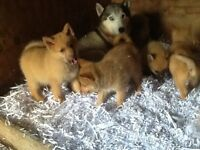 Pomsky puppies price drop!!£800