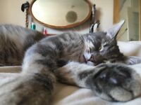 Fluffy Grey Tabby Cat Missing Wilmslow Road/Fog Lane/Lapwing Lane area