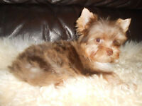Yorkshire terrier-chocolate-MERLE