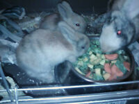 Baby Lionhead x-breed Rabbits for sale
