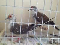 Diamond doves for sale