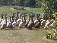 Young Ducks Khaki x Indian Runner Natone Burnie Area Preview