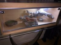 Friendly male bearded dragon 2 1/2 years old, well handled! Full set up viv.
