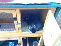 x2 netherland dwarf rabbits for sale with hutch