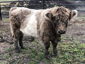 Missing 2yr old highlandxbelted galloway