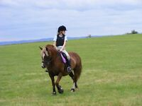 14.2hh Welsh Cob Mare - All Rounder
