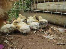 SILKIE & SIZZLE BANTAM CHICKS Silky pet frizzle x $10ea chickens Gawler Gawler Area Preview