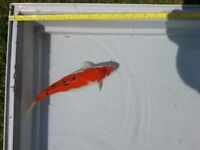 KOI FOR SALE 10 inches to 14 inches GREAT DEALS PLUS LARGE 28 inch STURGEON PLUS LARGE GOLDFISH