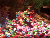 Blackmoor fish