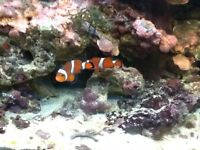 2 tangerine clowns and Jewel fish tank