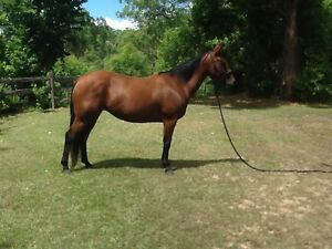ASHxQH mare Uki Tweed Heads Area Preview
