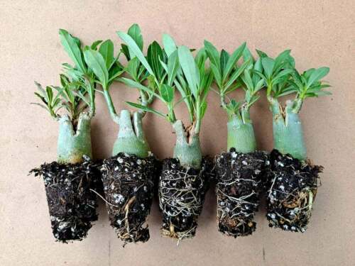 Clearance! 5 Pack Desert Rose Plants, Adenium Obesum, Mixed colors, 3-5 inch