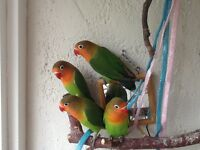 Baby Fischers lovebirds for sale happy and healthy
