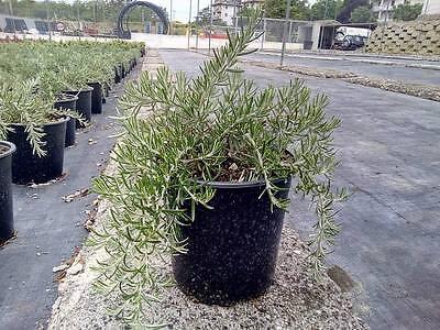 Rosmarino Prostrato Pendulo vaso 17 (OFFERTA 20 piante)