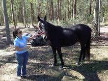Stock horse Gelding For Sale Tamborine Ipswich South Preview