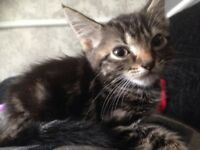 5 Beautiful Kittens Available 2 Smokey Grey 1 Tabby 2 Black Ready To Go