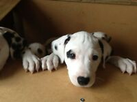 Dalmation puppy for sale! Only 1 boy left!!!! £450